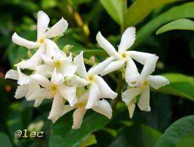 Kilpoldir gelsomino d 39 autunno for Nomi fiori bianchi e gialli